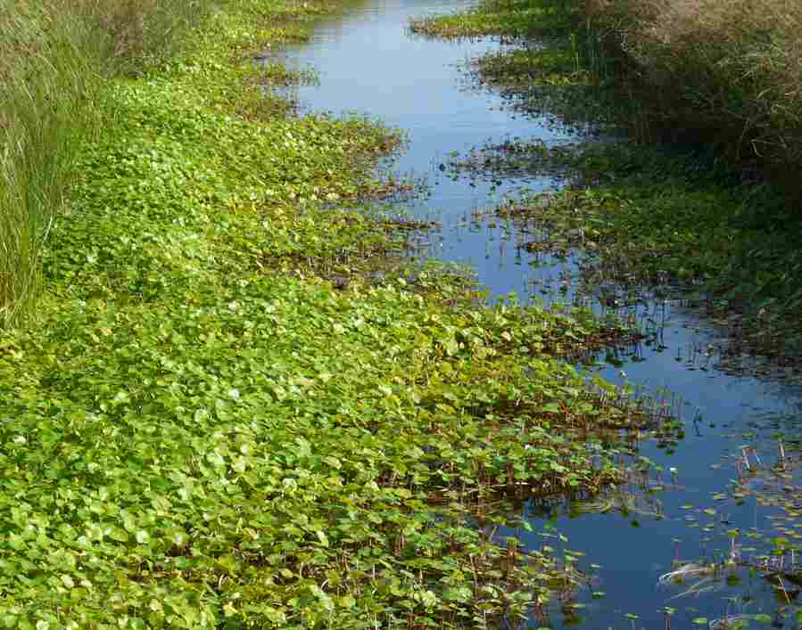 Planting up ponds for Oxygenating pond plants for sale